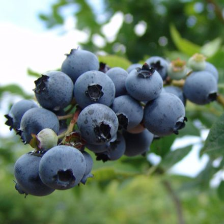 Fruit Blueberry