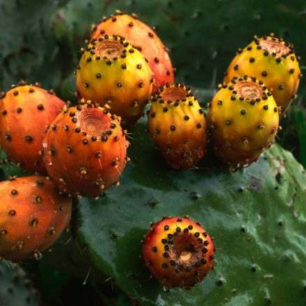 Fruit Prickly pear